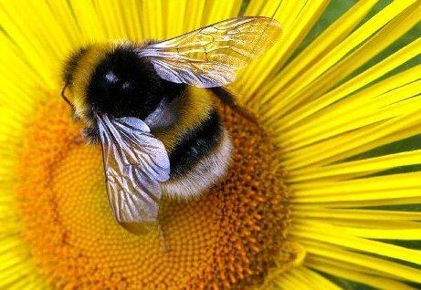 """Предпросмотр - Схема вышивки  """"Пчела на цветке """" - Схемы вышивки - Gabrielle - Авторы - Портал  """"Вышивка крестом """" ."""