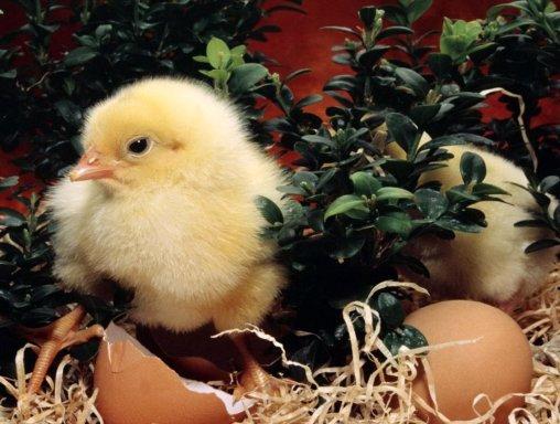 Бизнес идея выращивание цыплят на